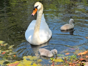 Adult swan with two cygnets