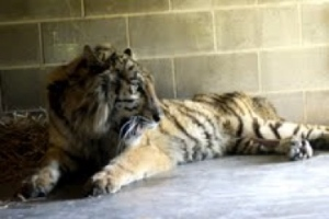 Aria, shortly after her arrival at Carolina Tiger Rescue